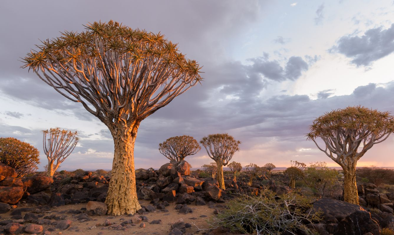 The Quiver Tree Forest in Southern Namibia