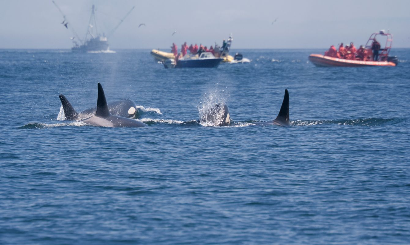 People in Boats watching Killer Whales - Orcinus orca near San Juan Islands, USA