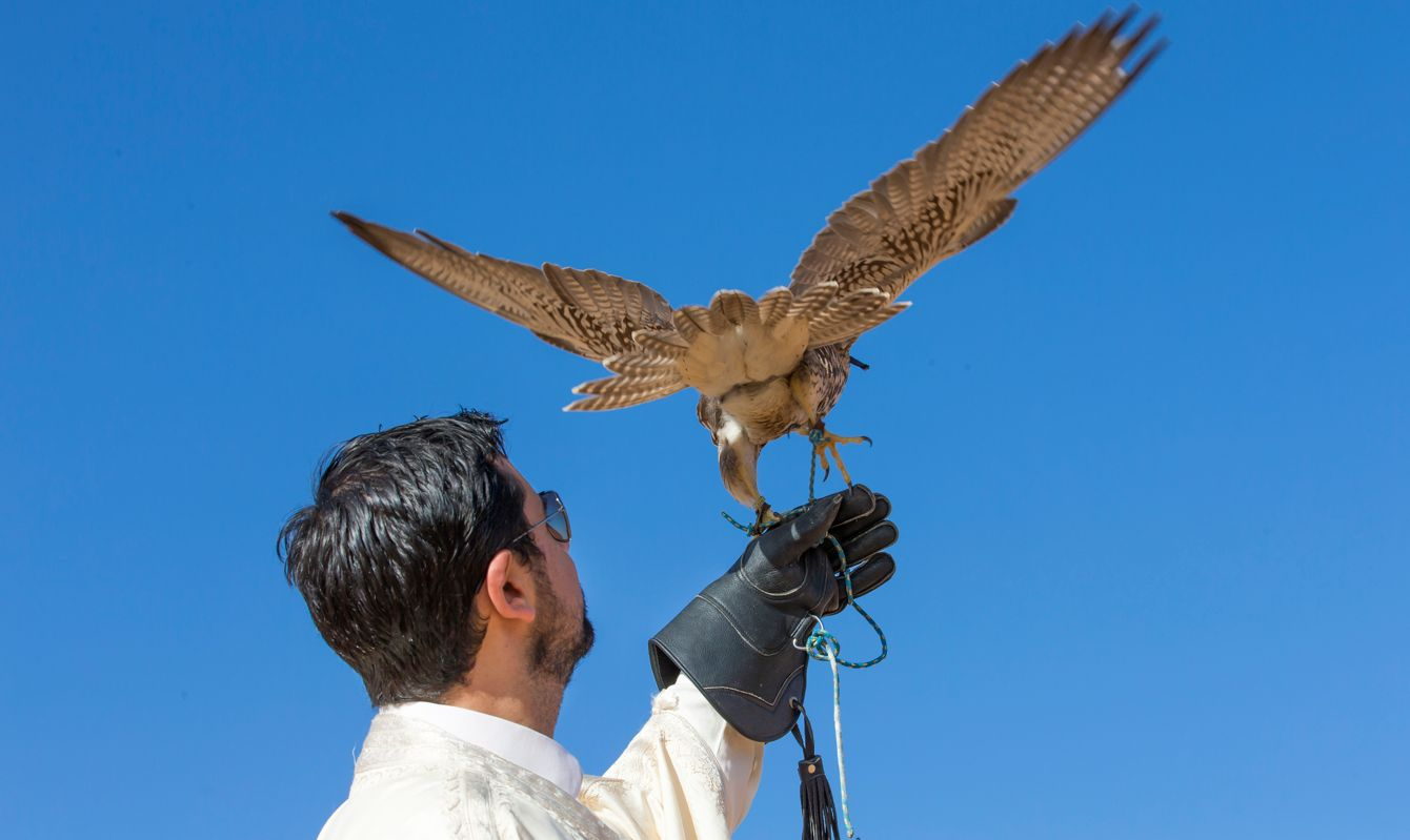 A Falconer posing with a saker falcon (falco churrug)