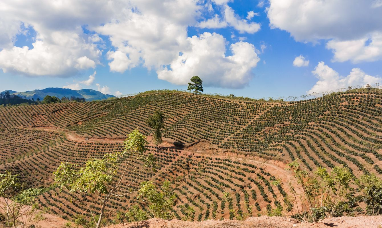 Coffee plantation in the highlands of Honduras