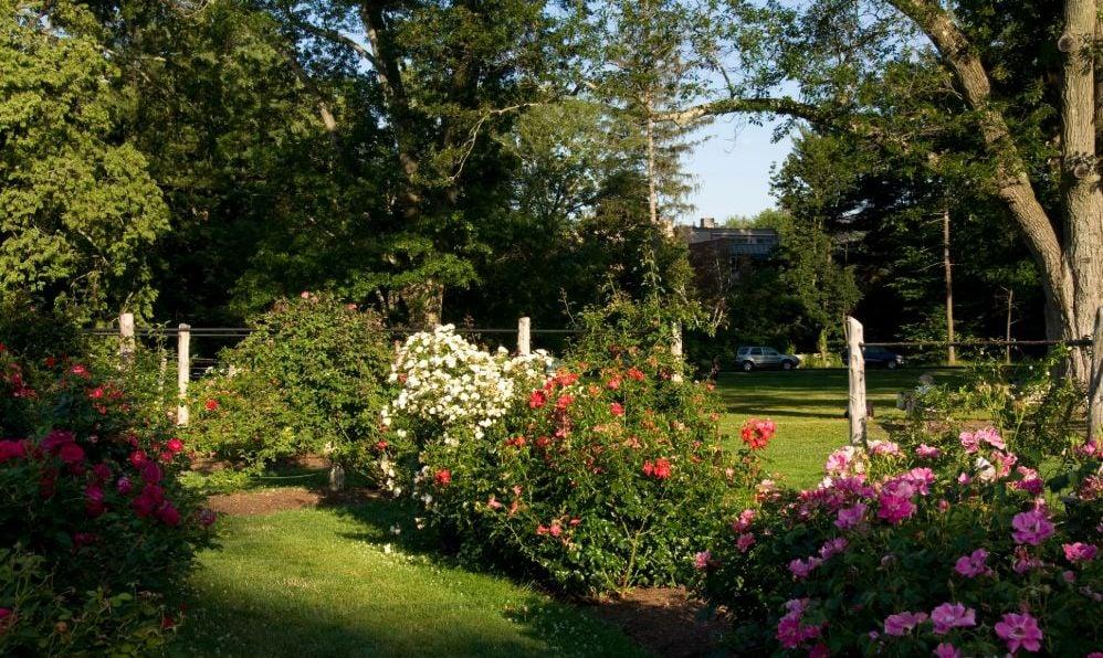 Elizabeth Park Roses