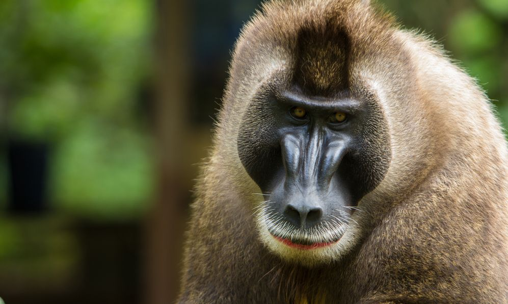 Endangered Drill Monkey in Nigeria