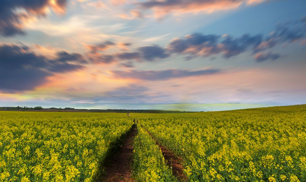yellow flower field of bangladesh