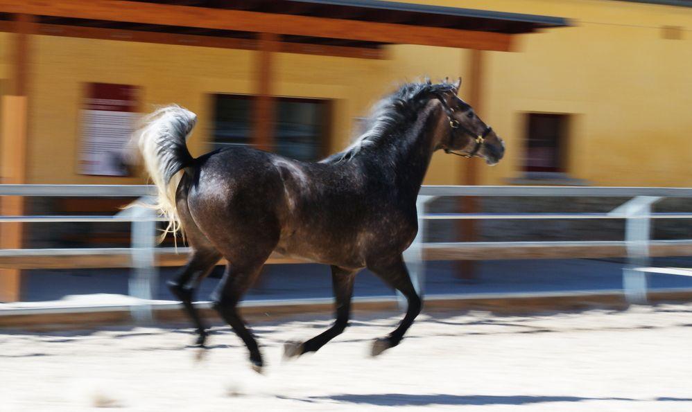 Lipizzaner stallion in Federal Stud Piber in Koeflach,Austria.