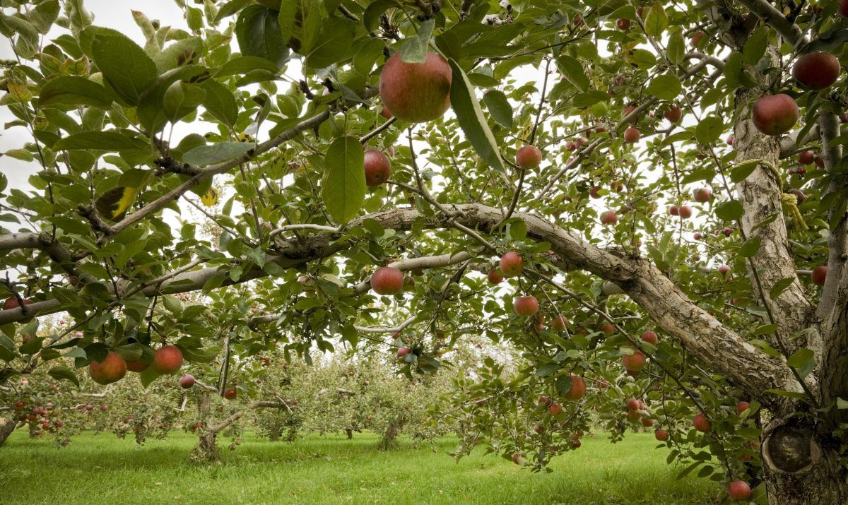 Apple tree in an orchard - stock photo