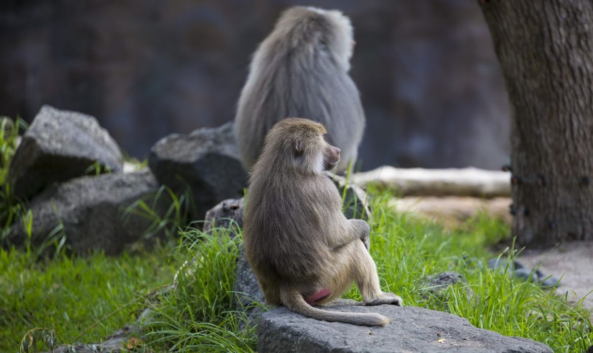 Baboons can be found living in the forests of Filfil.