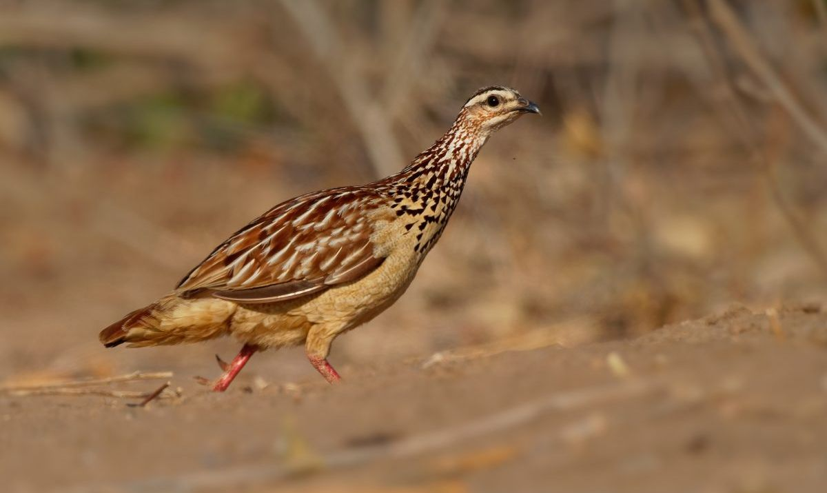 Francolin Bird Watching