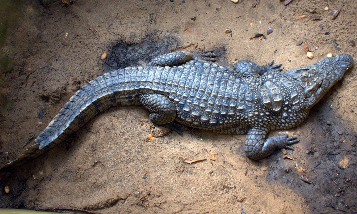 Crocodiles in Togo