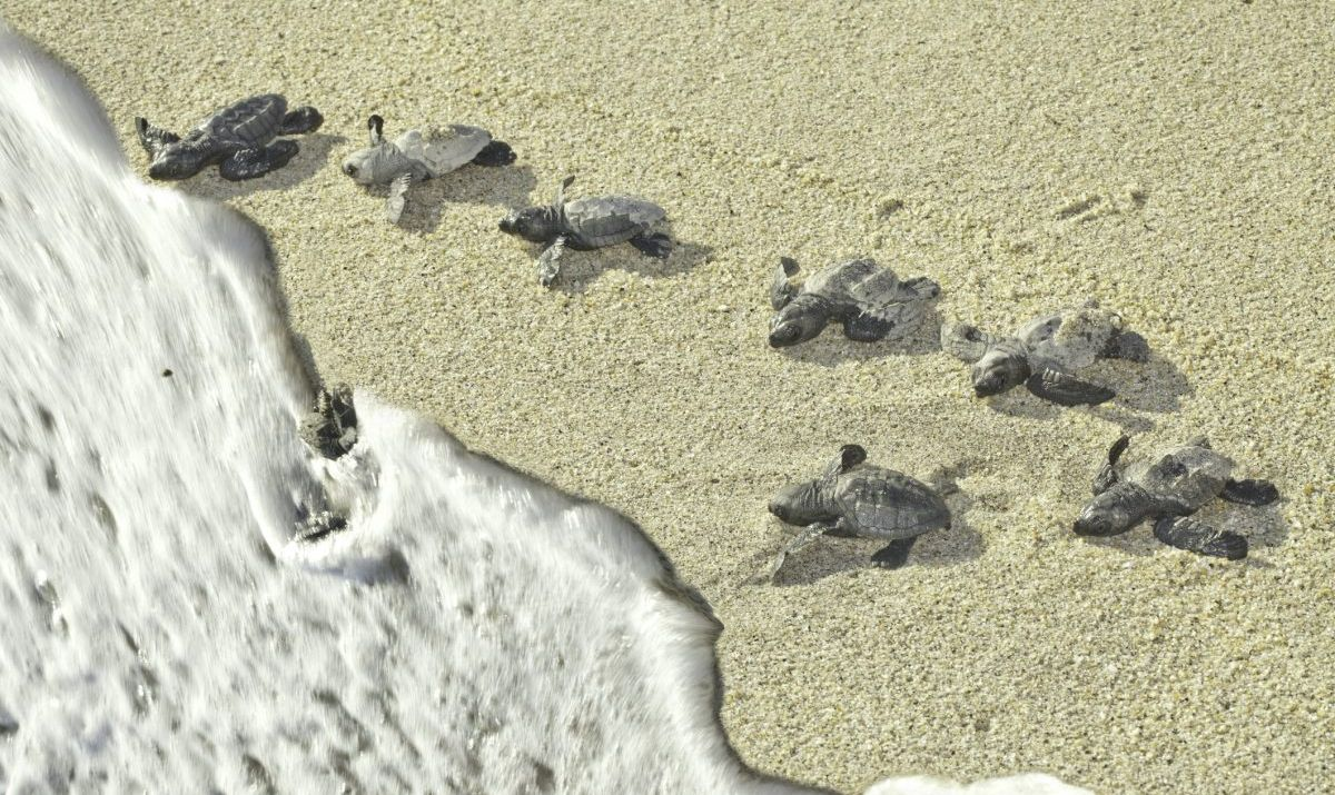 Olive Ridley Sea Turtles racing to the ocean (Lepidochelys olivacea) - stock photo