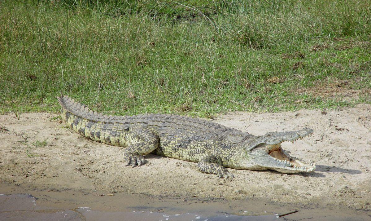 Hundreds of crocodiles swim in the waters of Lake Ira Lalaro.