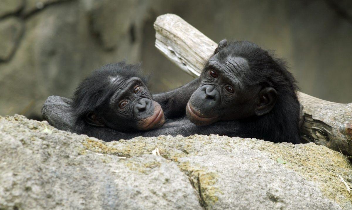 Bonobos are protected at the Lola Ya Bonobo sanctuary.