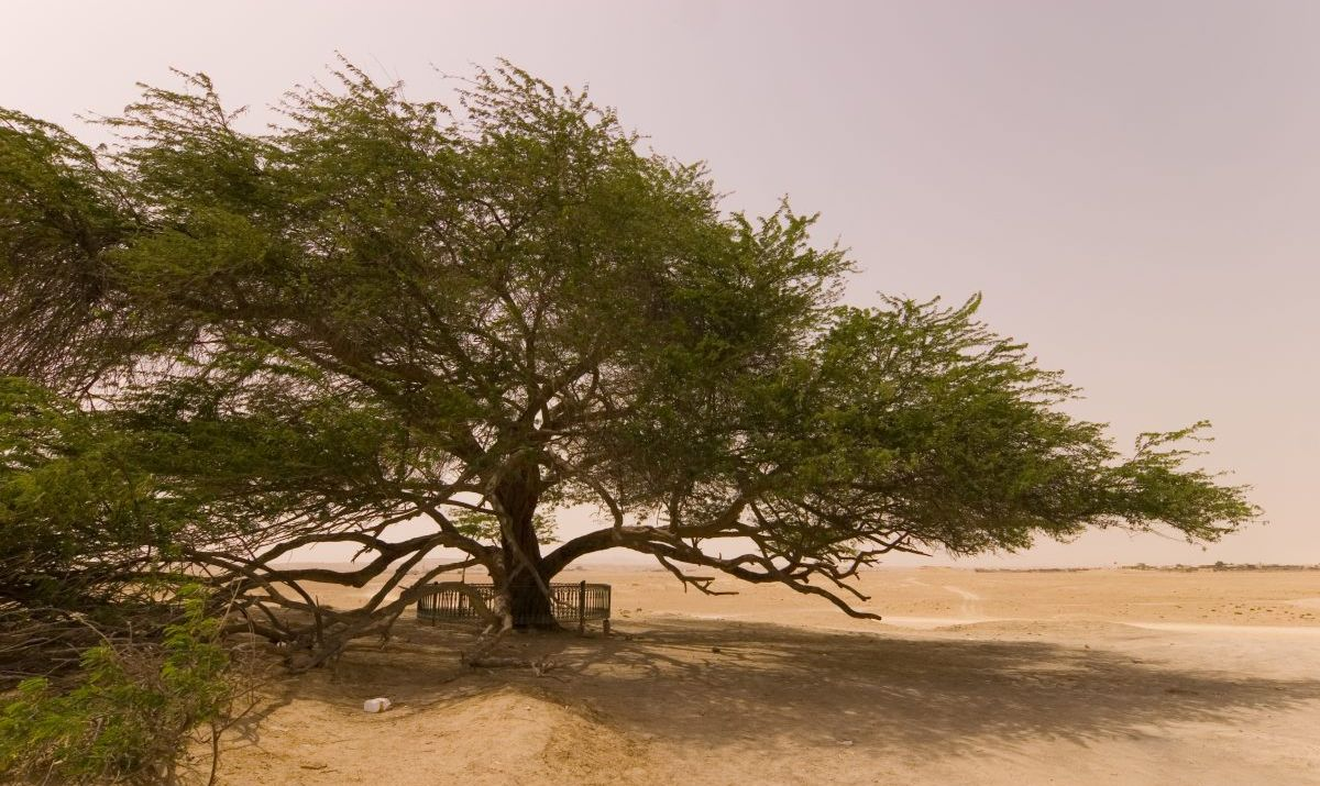 The ancient Tree of Life alone in the desert