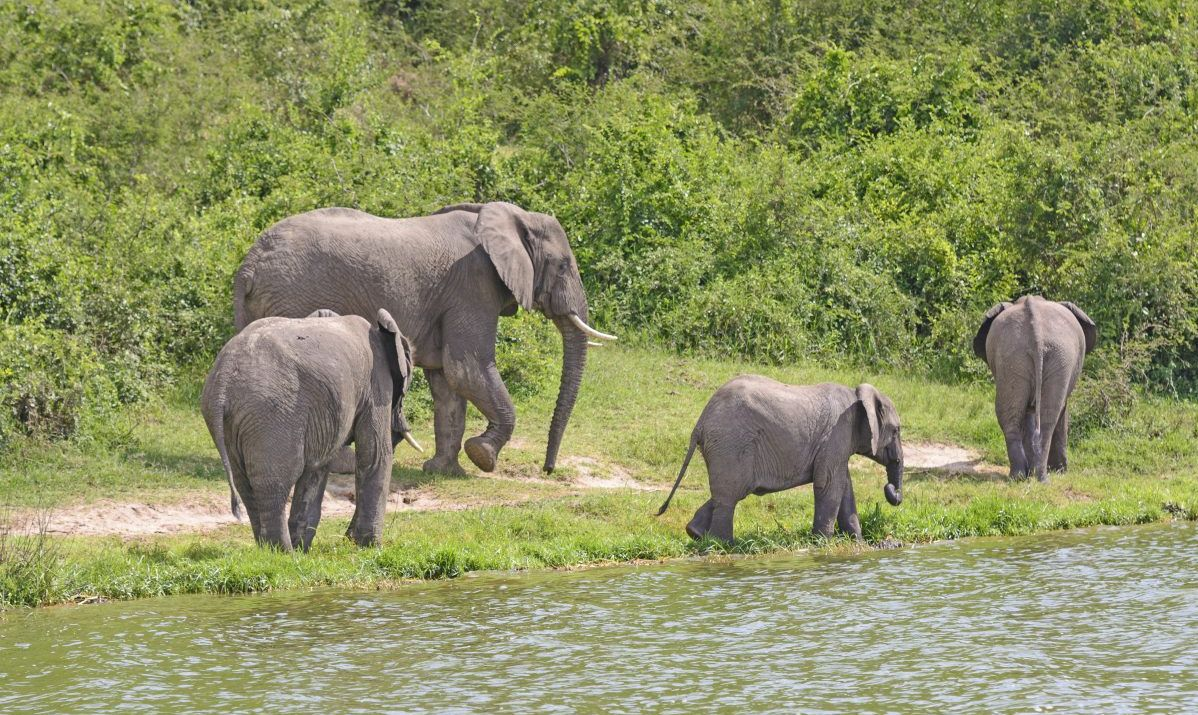 African Elephant Family Group along a River
