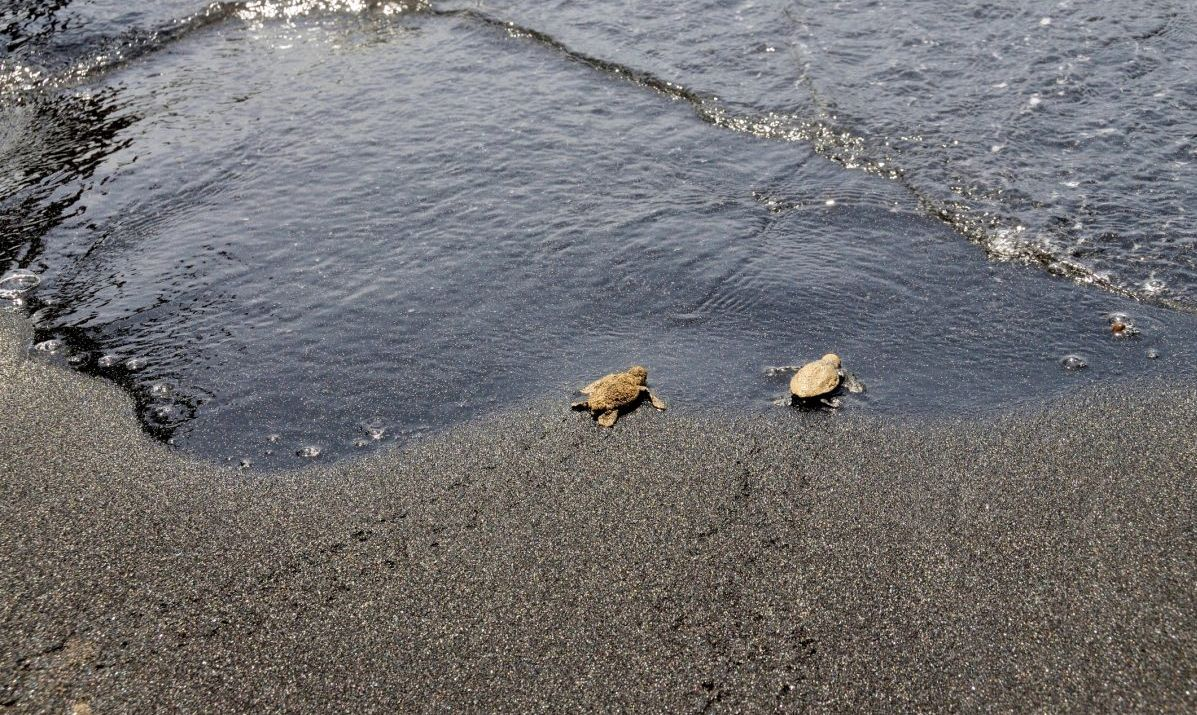 Sea turtle hatchlings make their way to the sea.
