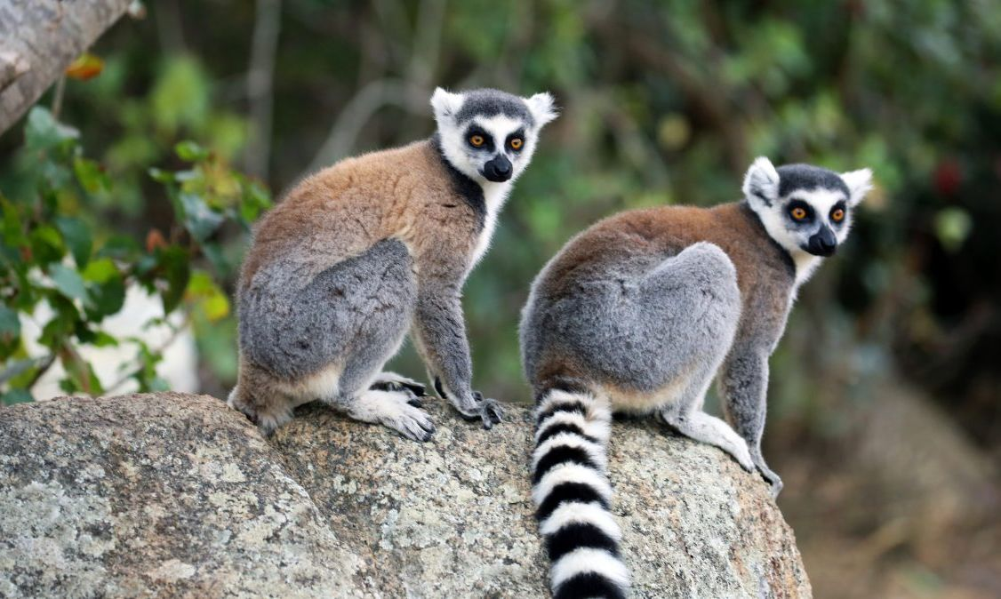 Isalo National Park's famous ring-tailed lemurs.
