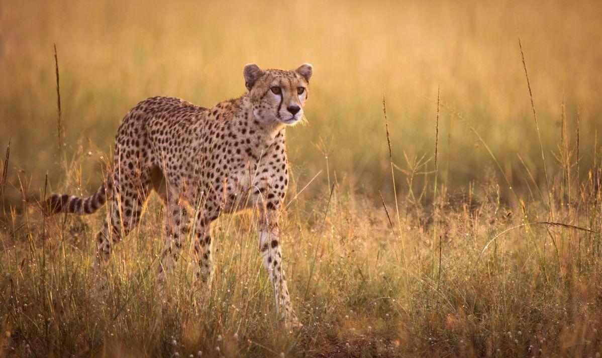 Female cheetah stalking in early morning light