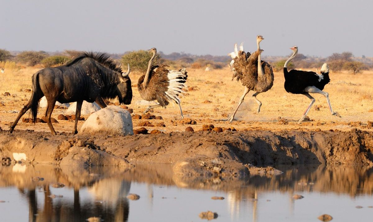 Wildebeest and ostriches