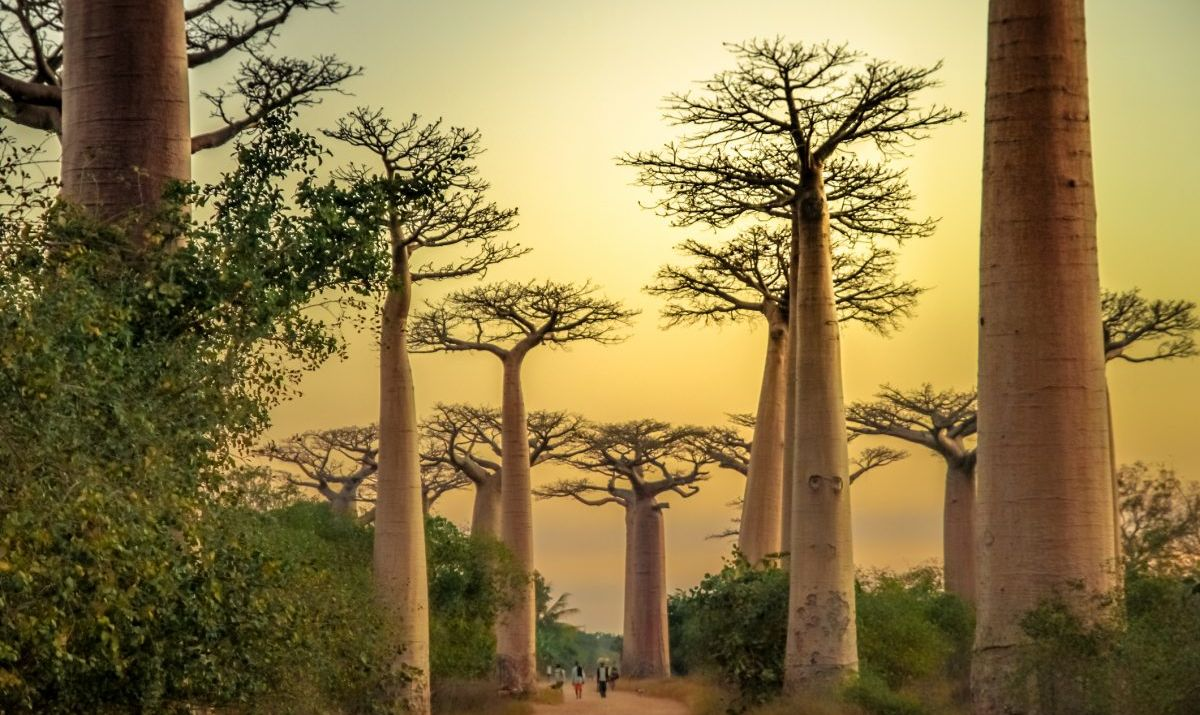 The Extraordinary Baobab trees of Morondava.