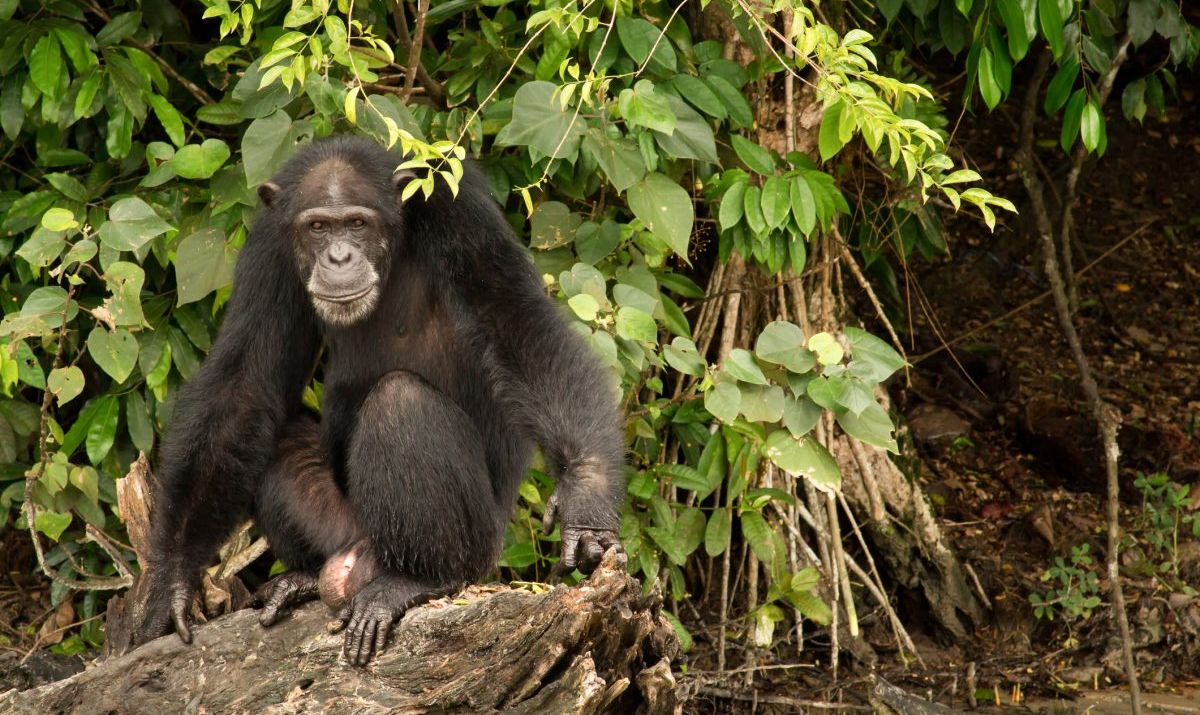 A resident chimp of Monkey Island