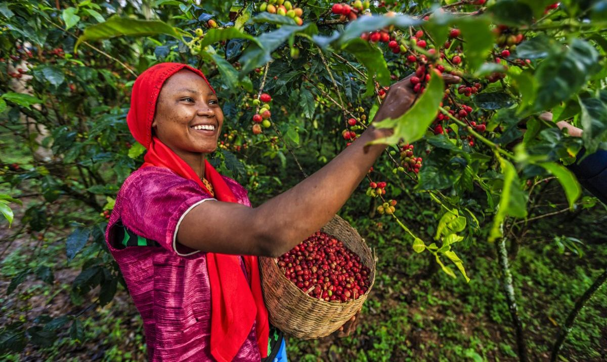 An Ethiopian woman collecting coffee cherries