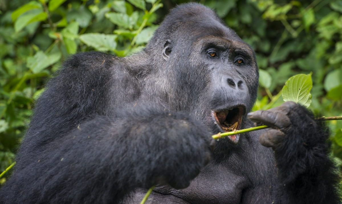 An Eastern lowland gorilla at Kahuzi Biega National Park.