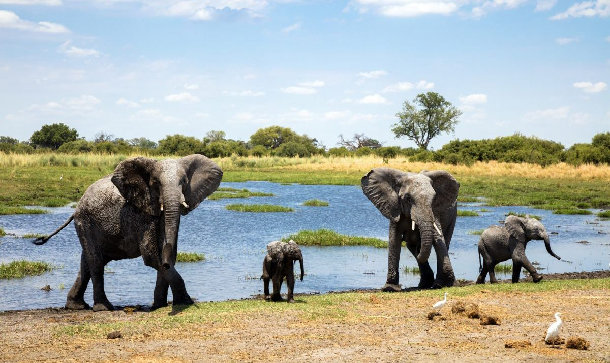 amily of African elephants at waters edge