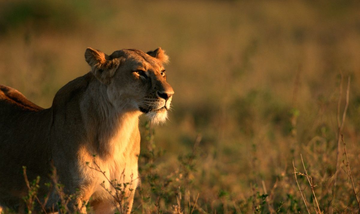 Lioness on a savanna
