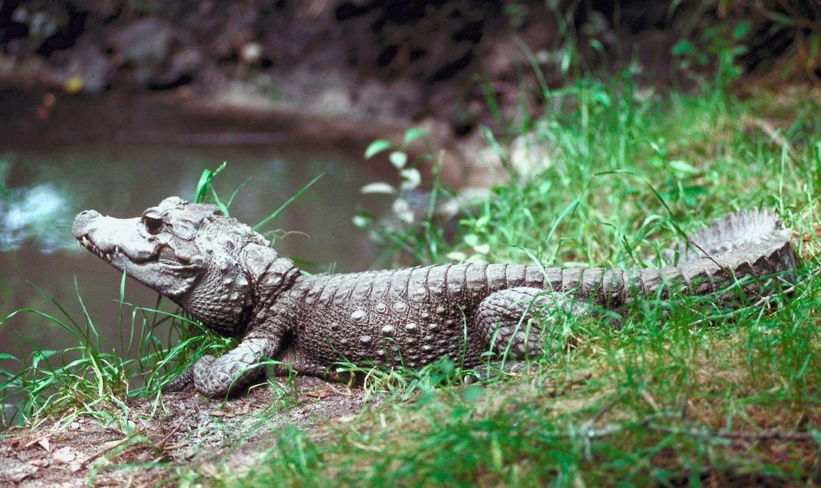 dwarf crocodile wildife sanctuary