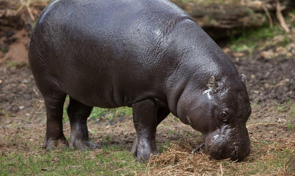 pygmy hippo tiwai island
