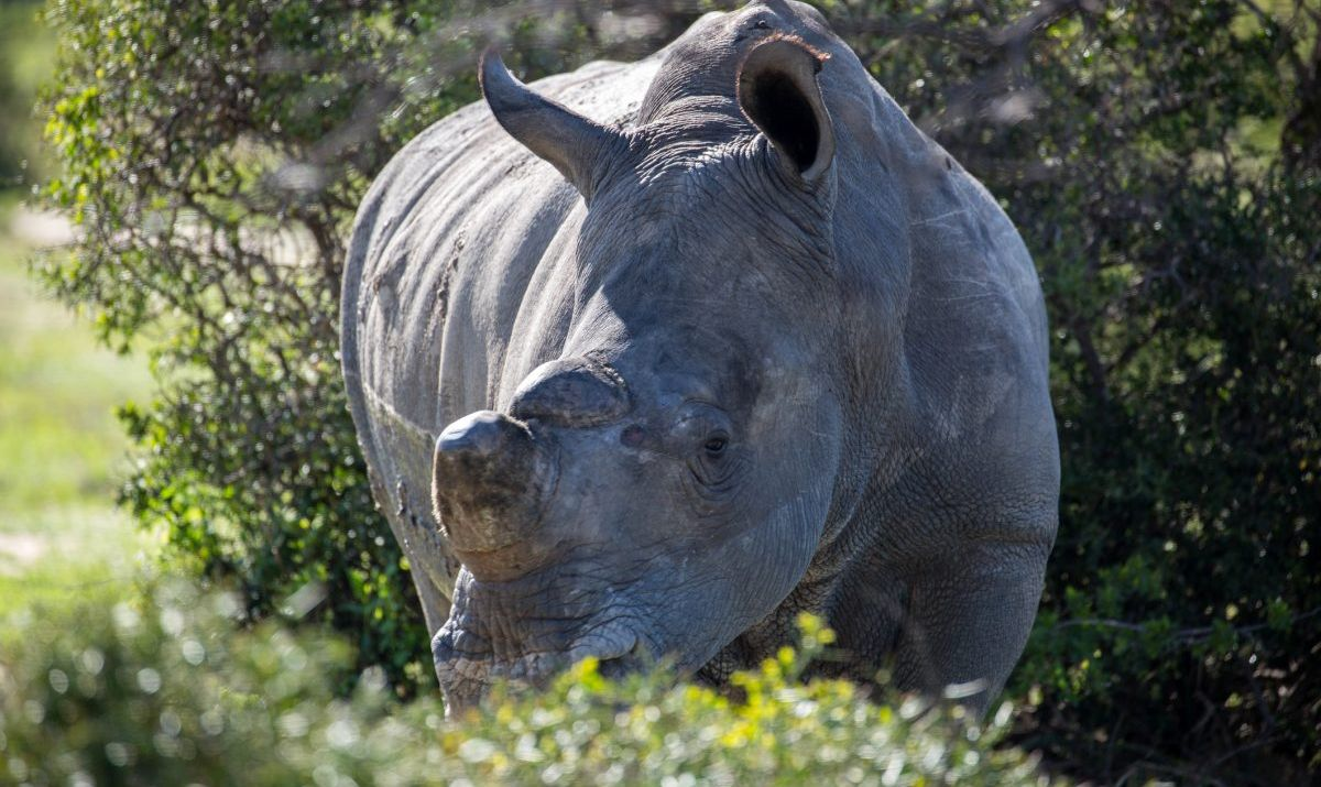 The last white rhino spotted at Garamba National Park was in the early 2000s.