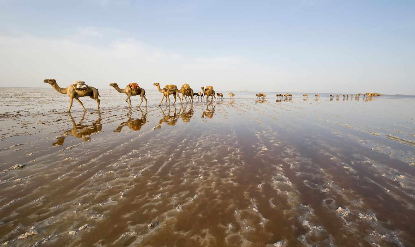A caravan of camels on their way through the Ass Ale salt lake in the Danakil Desert in Ethiopia. Earth.