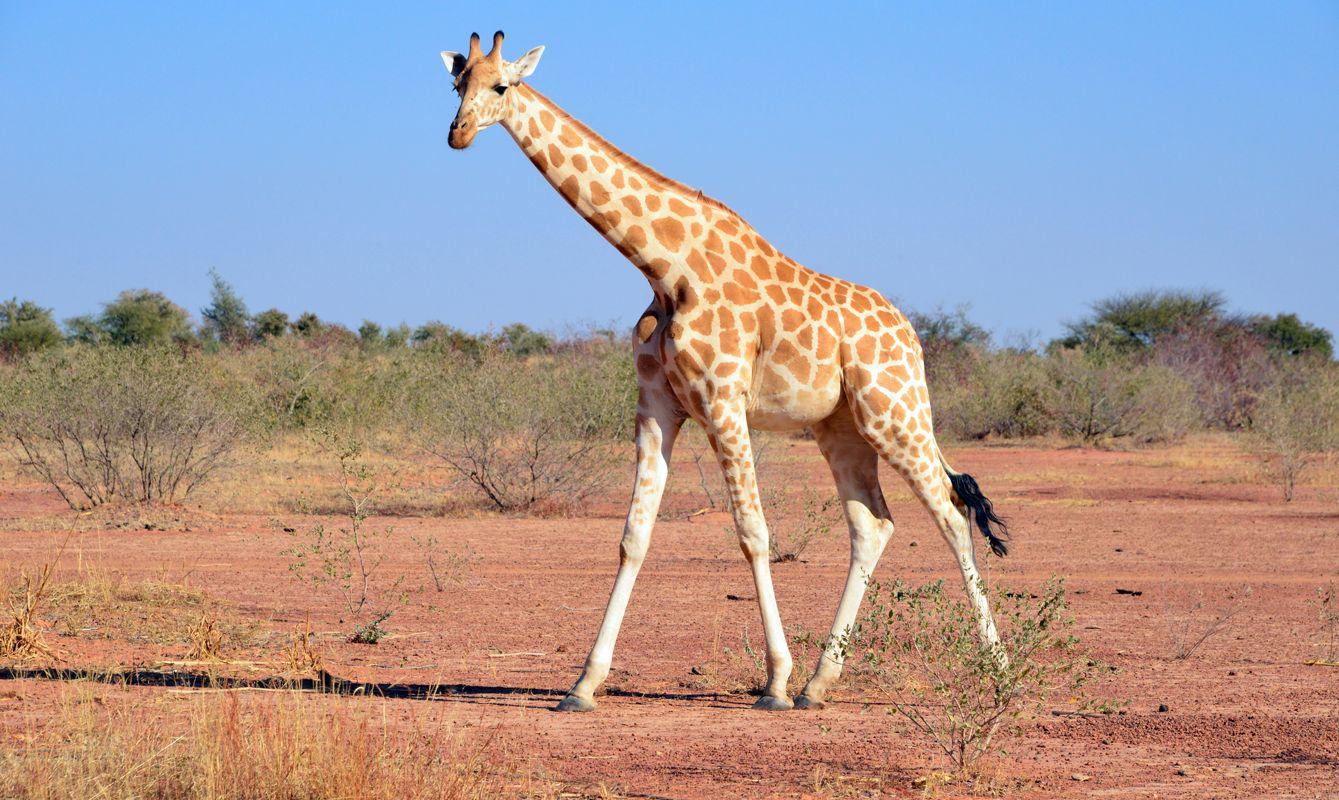 West African giraffe at Kouré Giraffe Reserve, Kouré, Niger