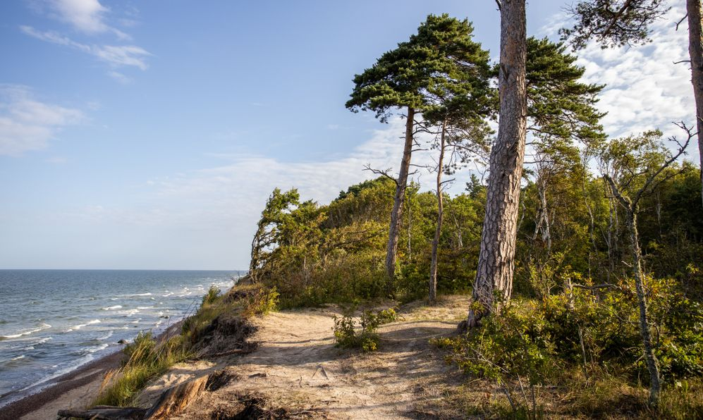 Seaside pine forest at summer time.