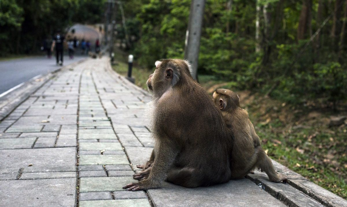 Monkey Hill Macaca