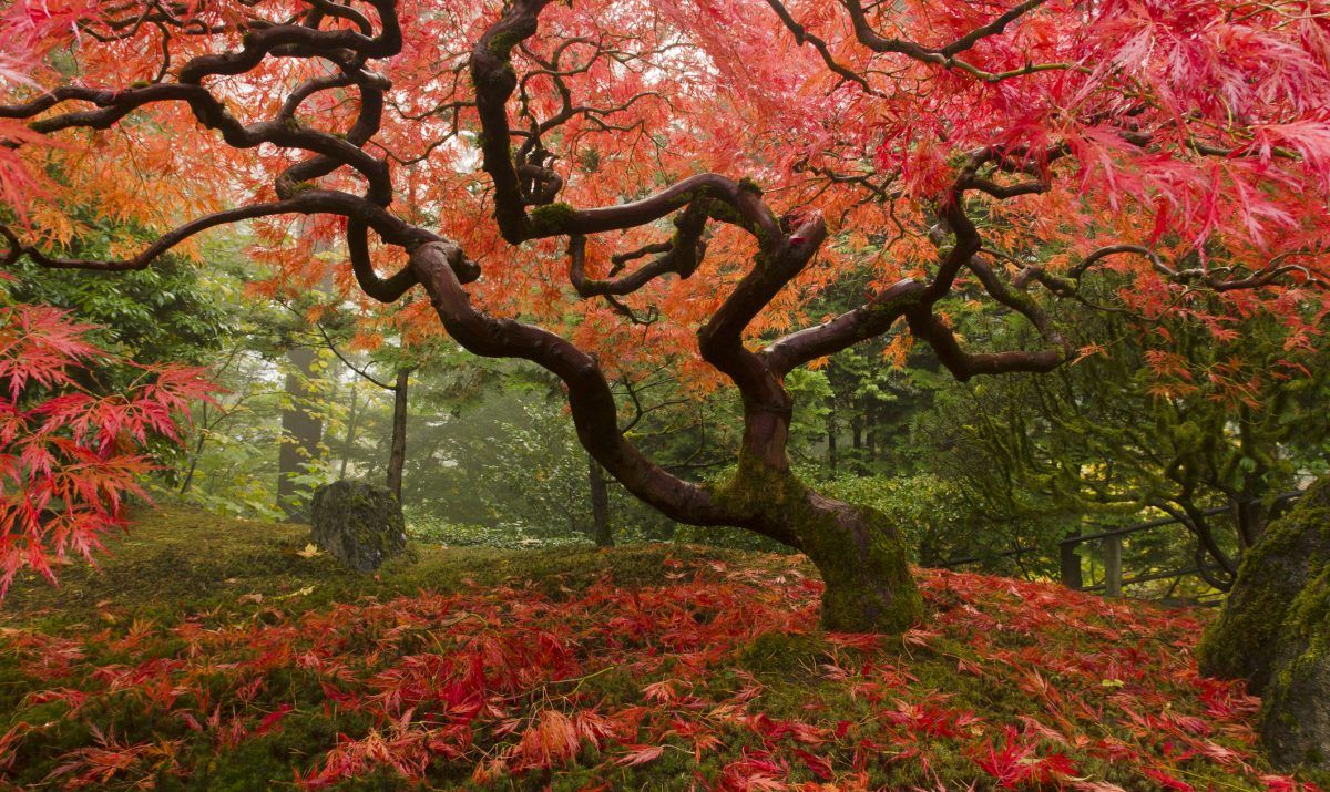 A Japanese maple at the heart of Portland's Japanese Garden