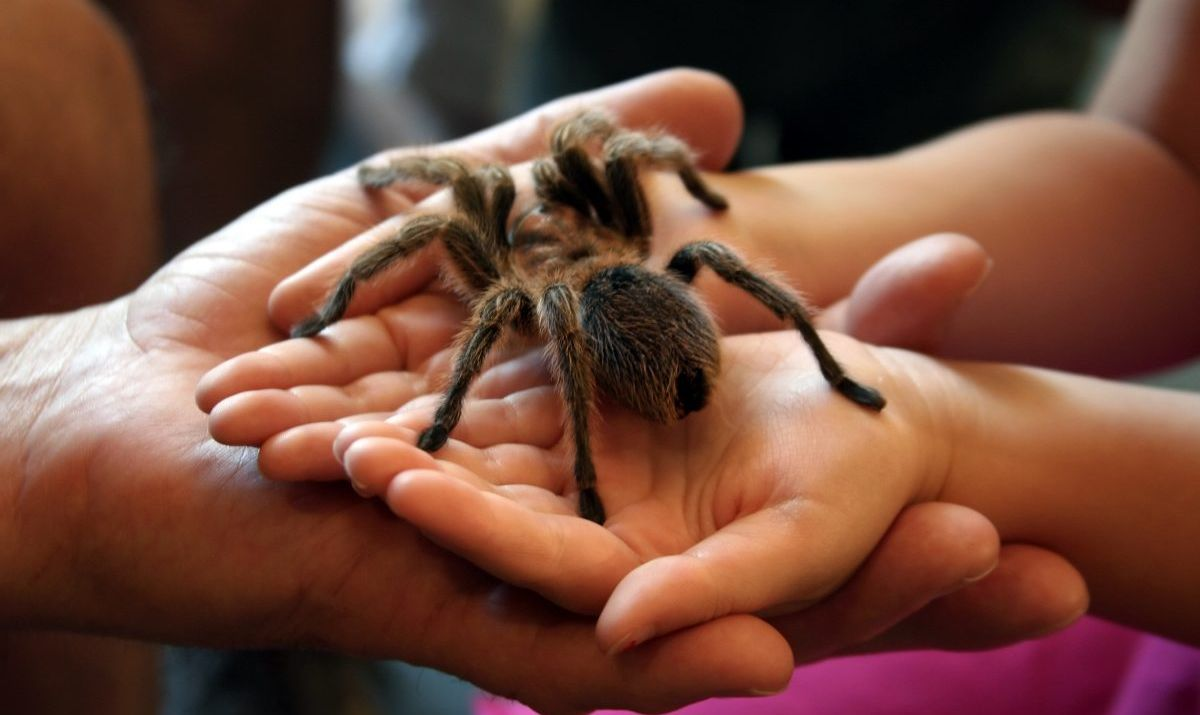 A docile tarantula in a child's hands