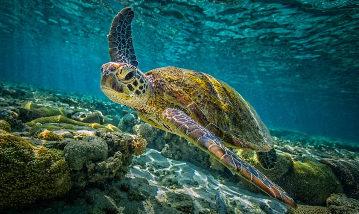A turtle swimming through a healthy, thriving stretch of coral reef