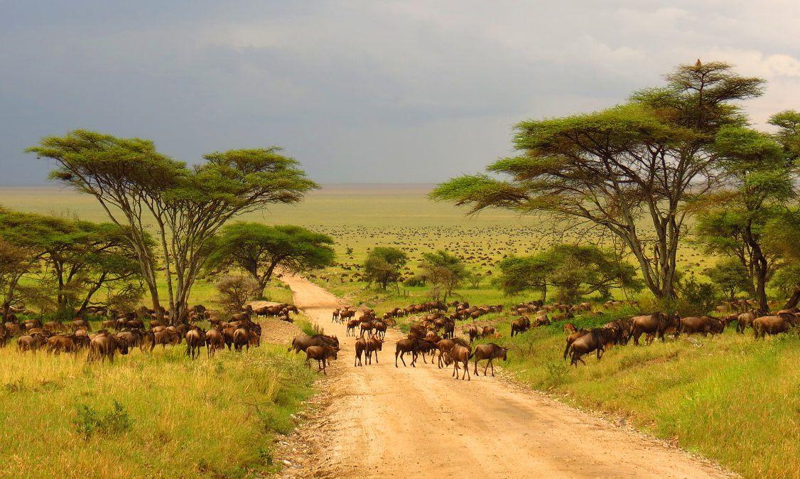 Wildebeest crossing a plain in Tanzania.