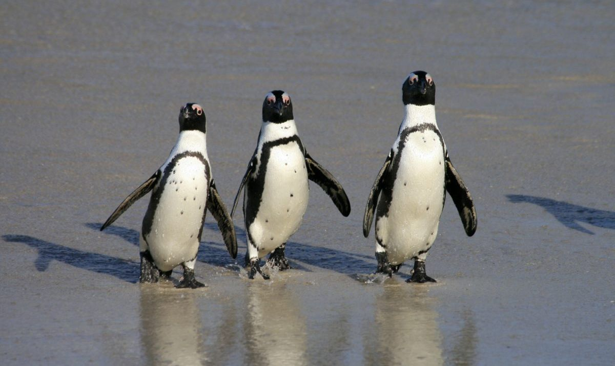See African penguins