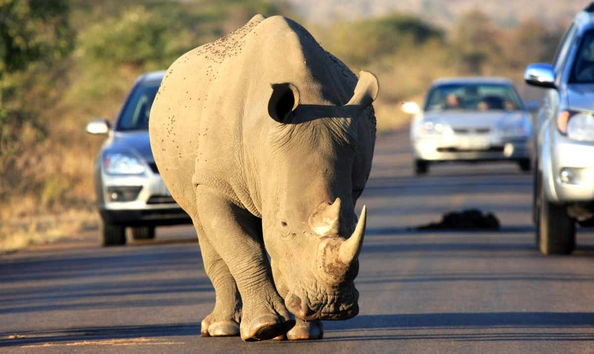 Stop for rhinos at Kruger