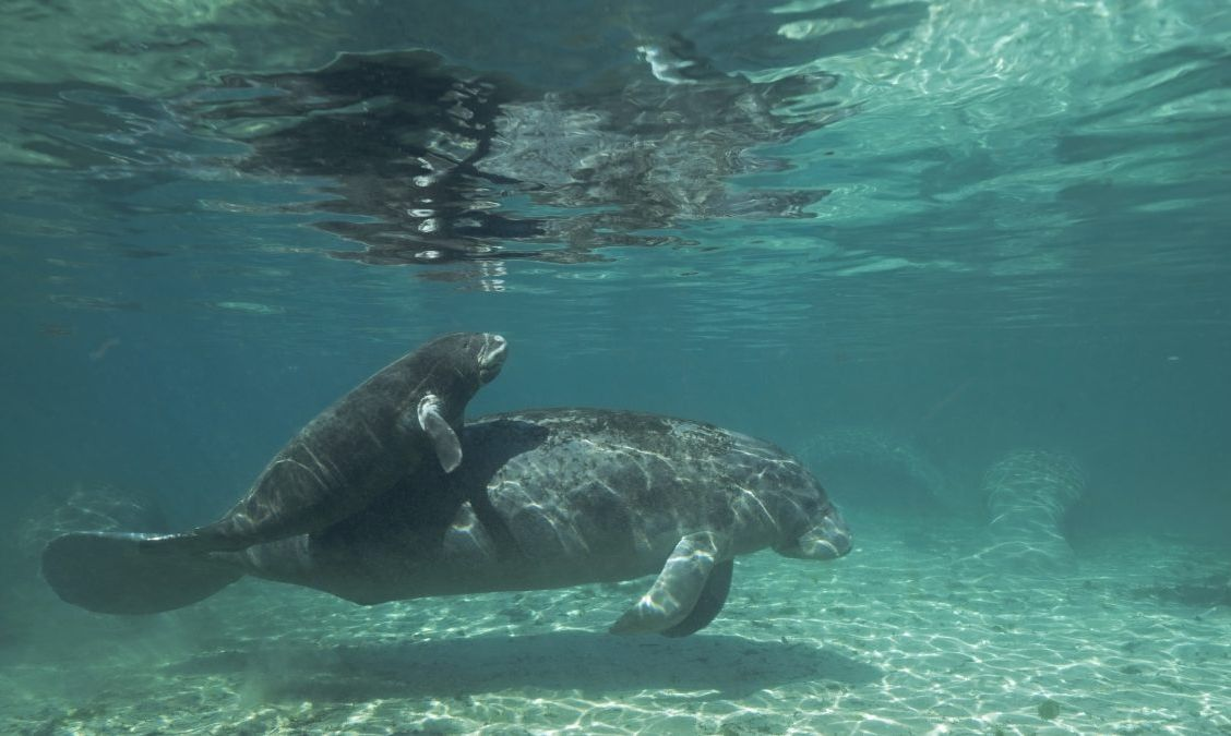 Come and see the manatees!
