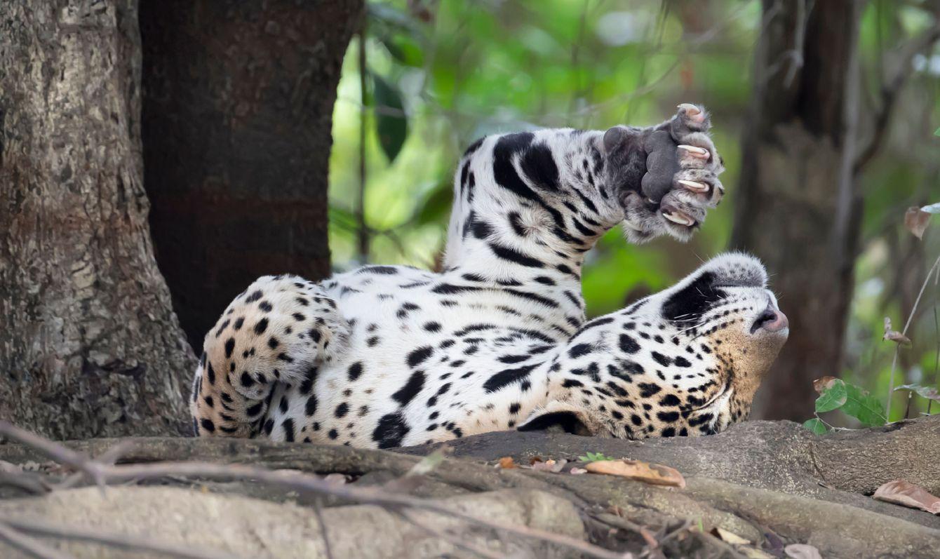 Close up of a Jaguar stretching on a fallen tree, Pantanal, Brazil.
