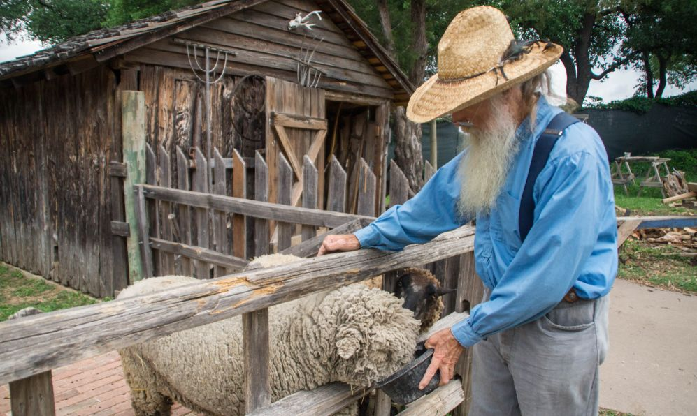 Old farmer feeding the sheeps in the Dallas Heritage Village