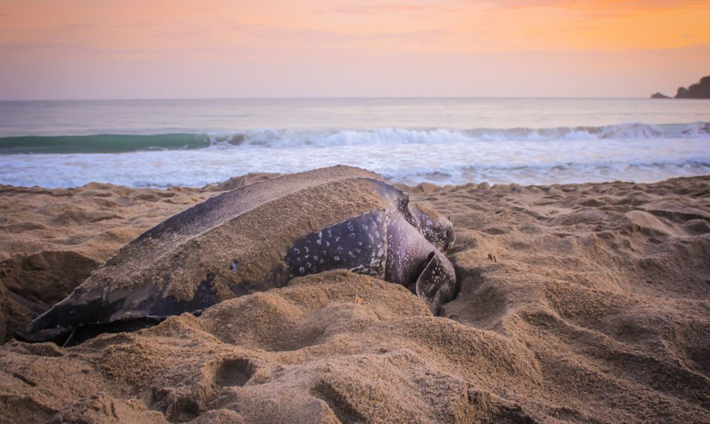 Leatherback turtle sunset