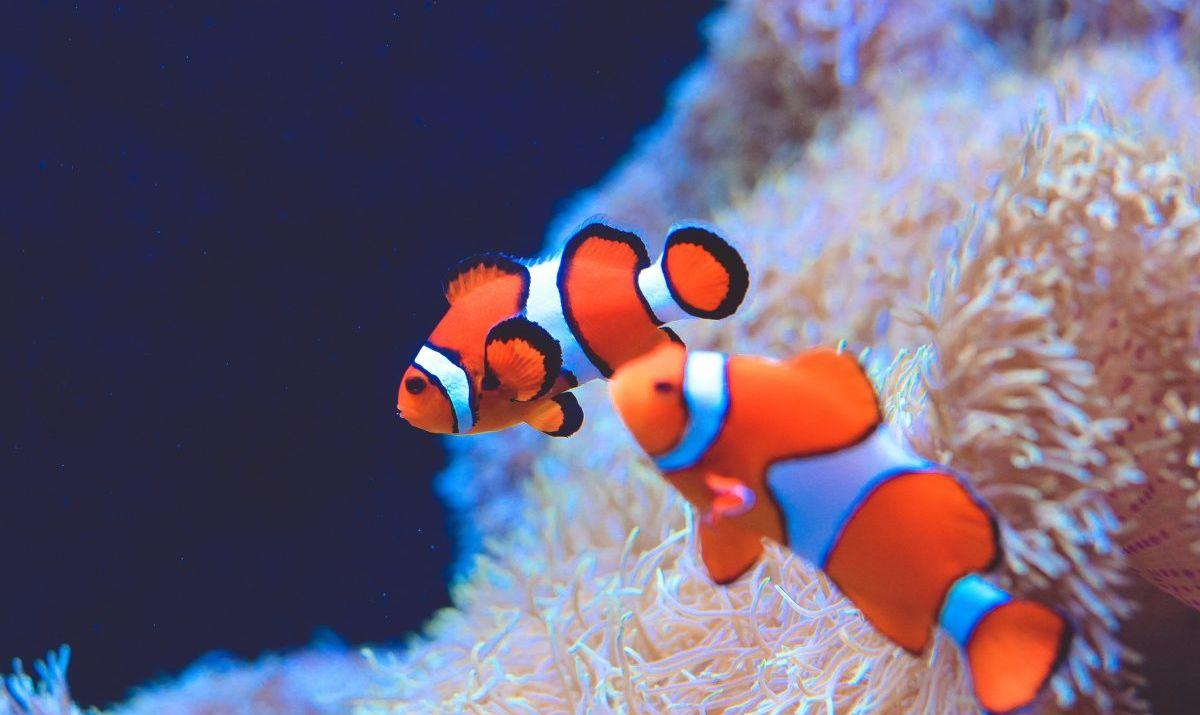 Clown fish Seattle Aquarium