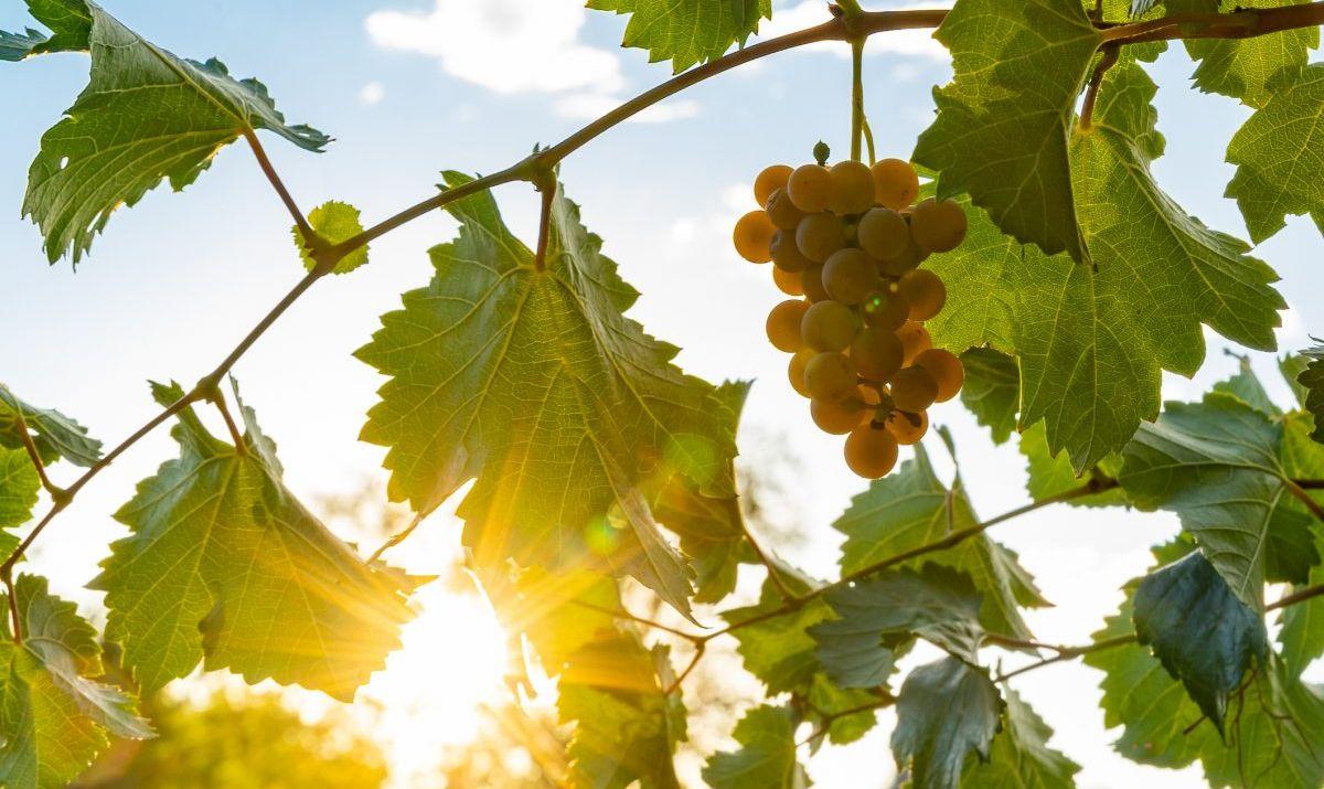 vineyard wines vintage grapes