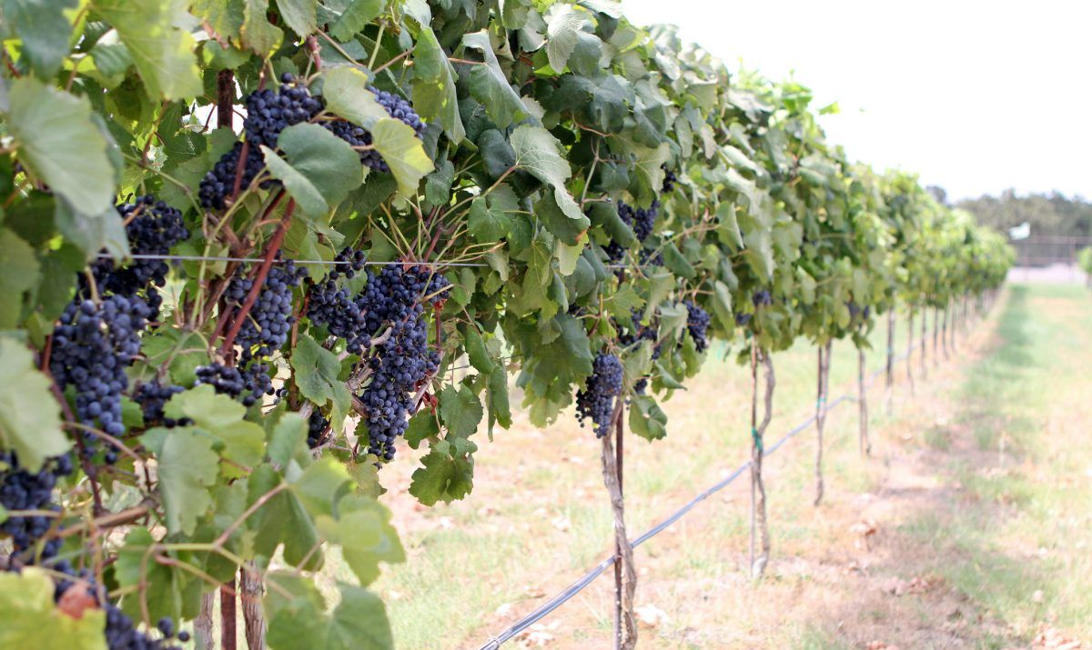 Grapes at a Texas Winery