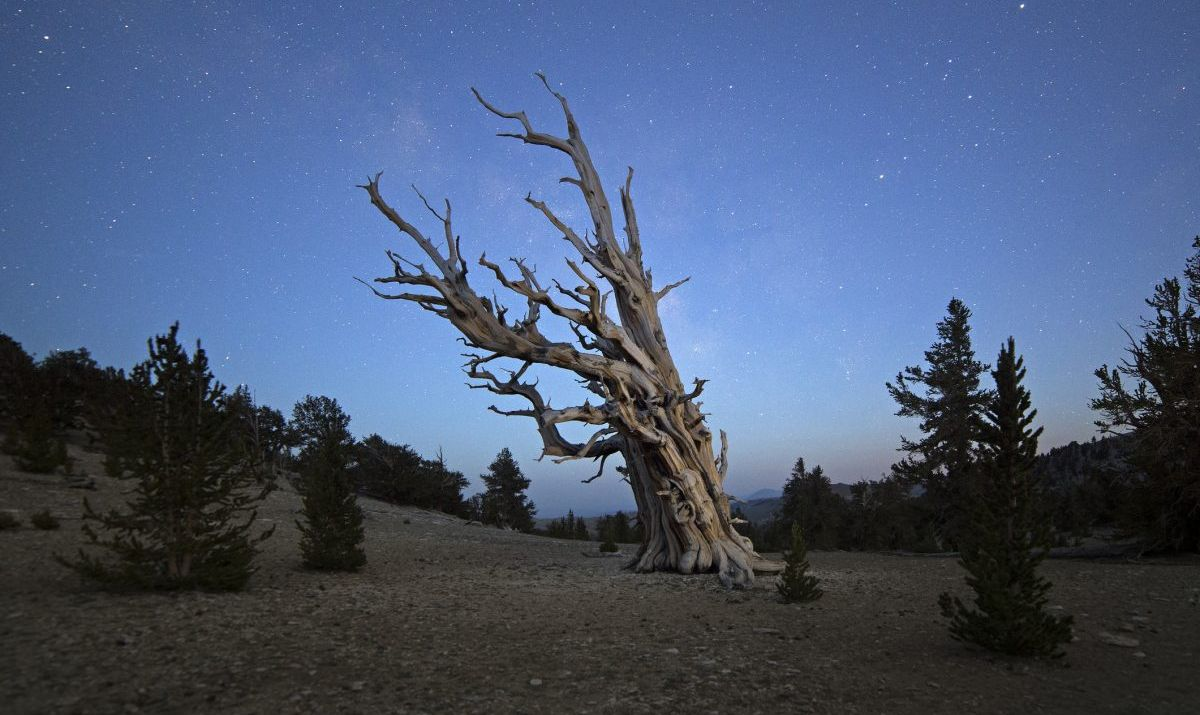 The Ancient Bristlecone Pine Forest is home to some of the world's oldest living organisms.
