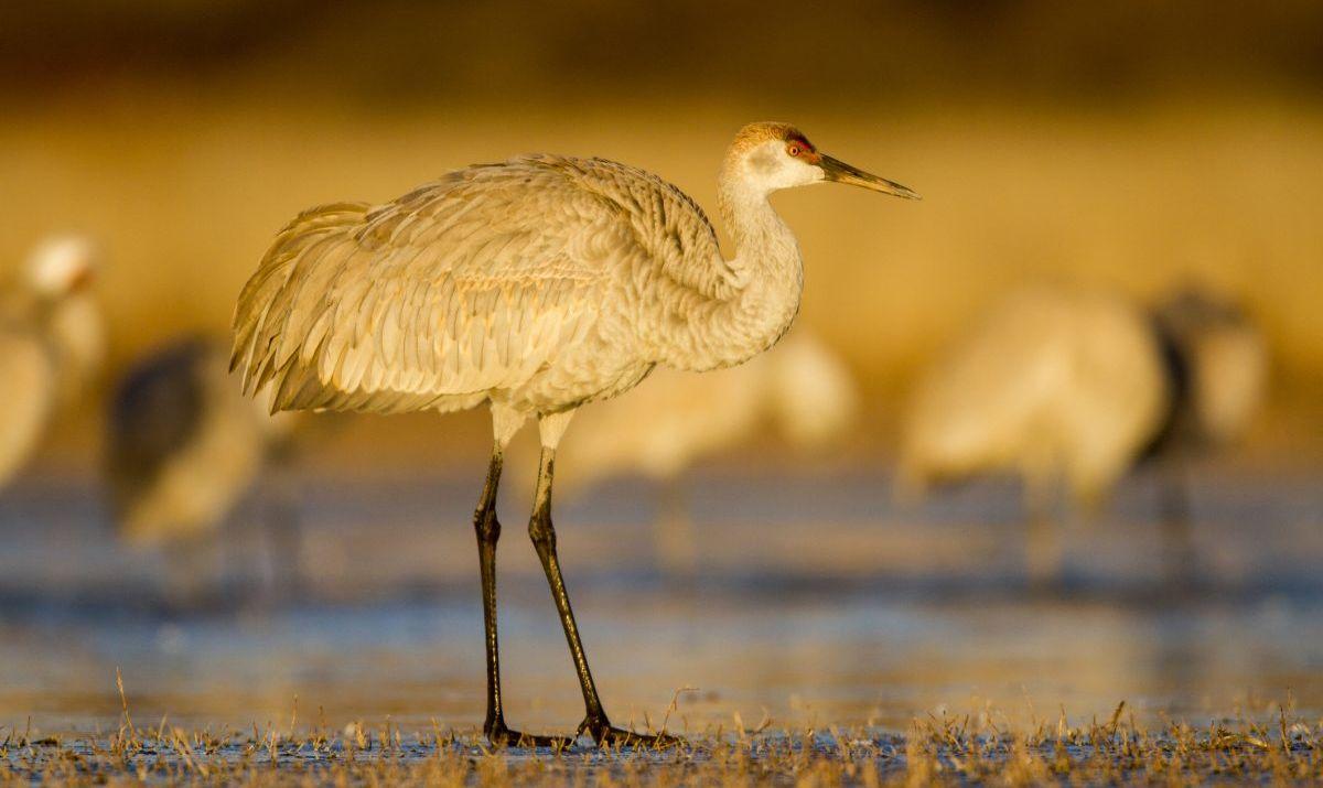 bitter lake wildlife refuge crane