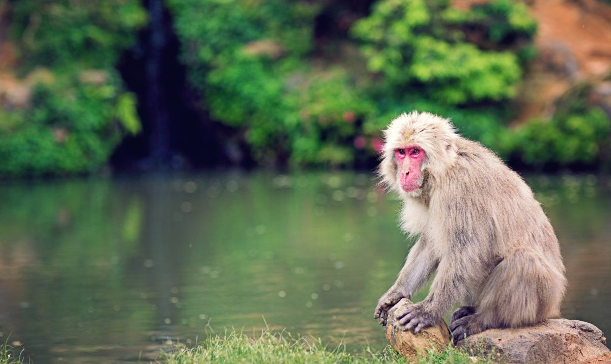 One of the wild macaques at Iwatayama Monkey Park.